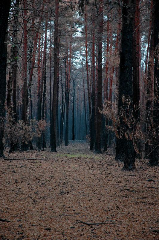 Kiefernwald nach Waldbrand