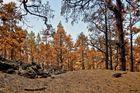 Kieferwald nach dem Feuer