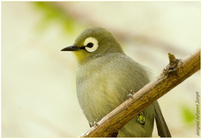 KIKUYU- Brillenvogel(Zosterops poliogaster kikuyuensis)
