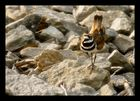 Killdeer