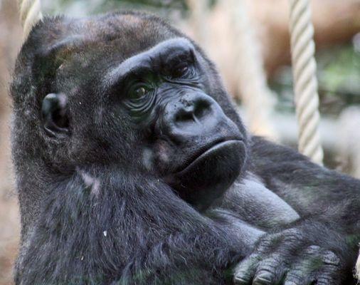 Kim der Gorilla
