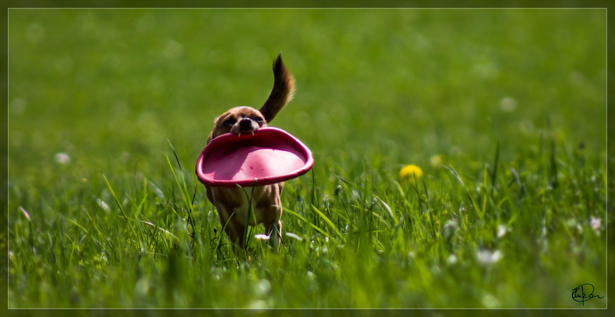 Kimba...mehr Frisbee als Hund