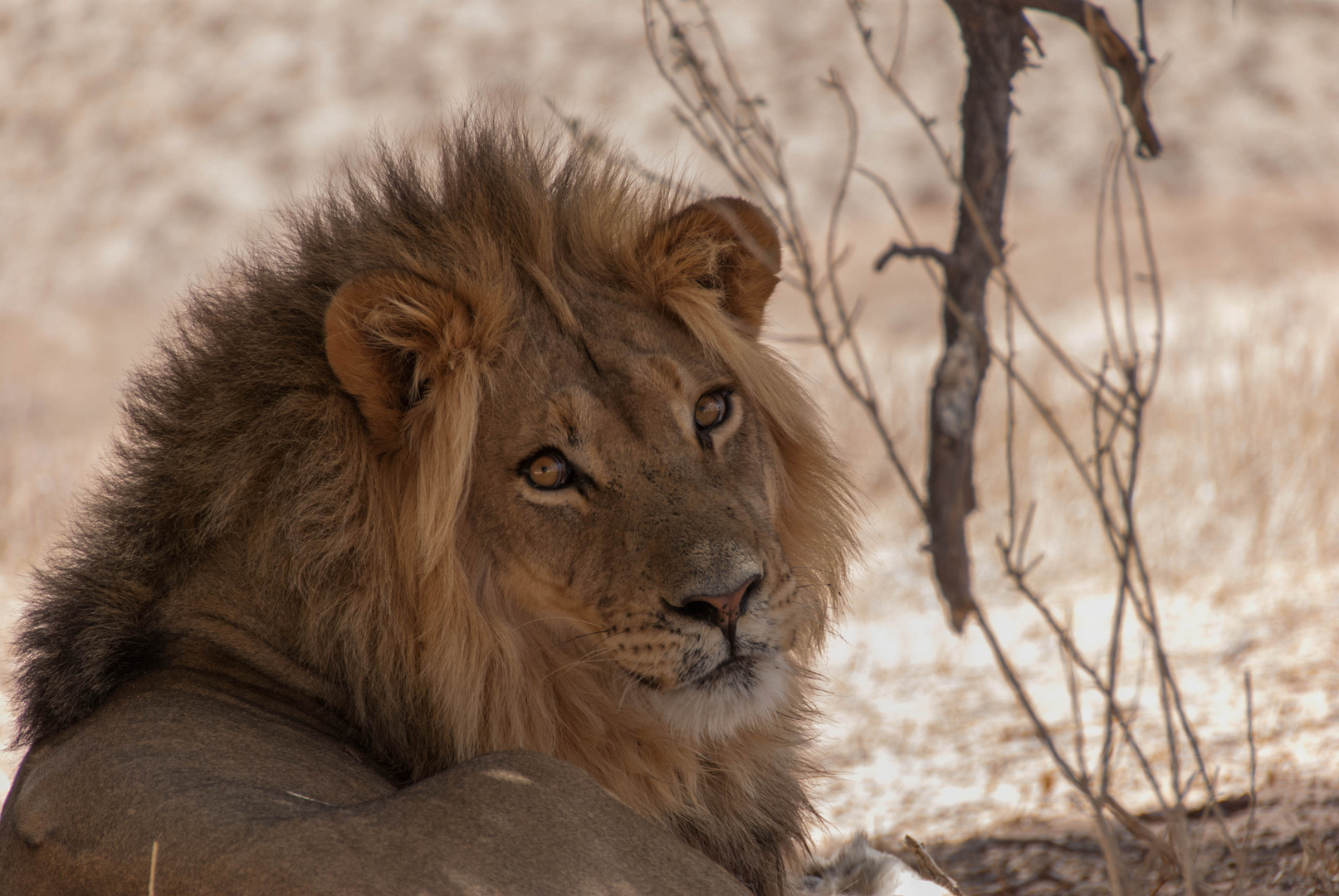 King of Kalahari III