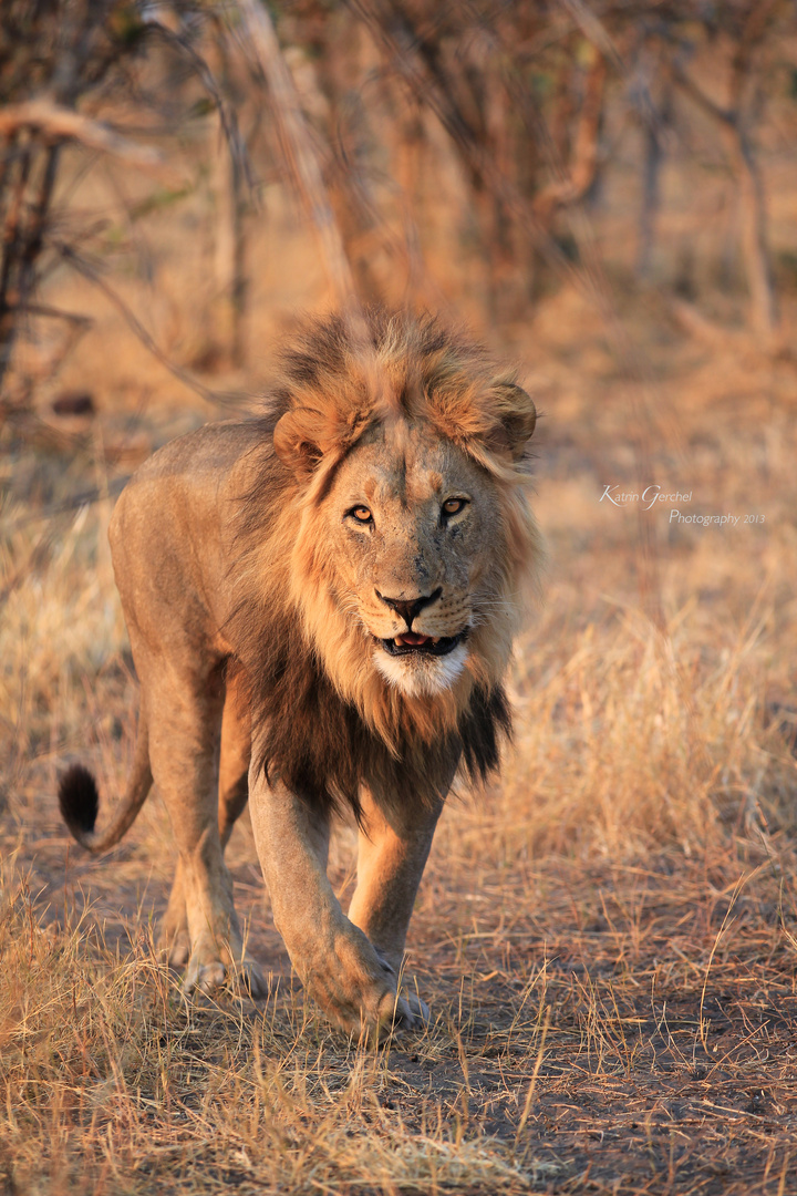King of Savuti