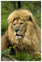 King of the Lions...