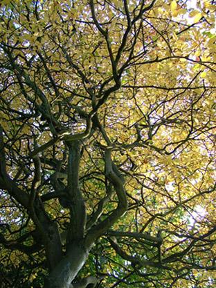 king-tree
