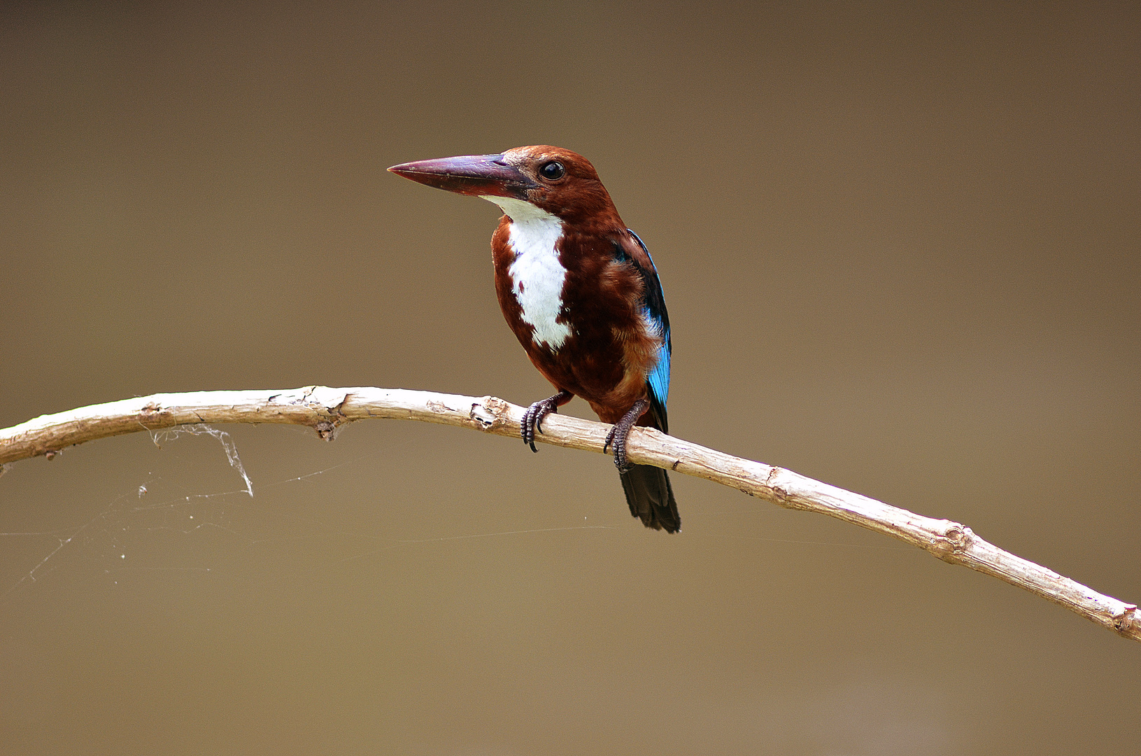 Kingfisher in Indien