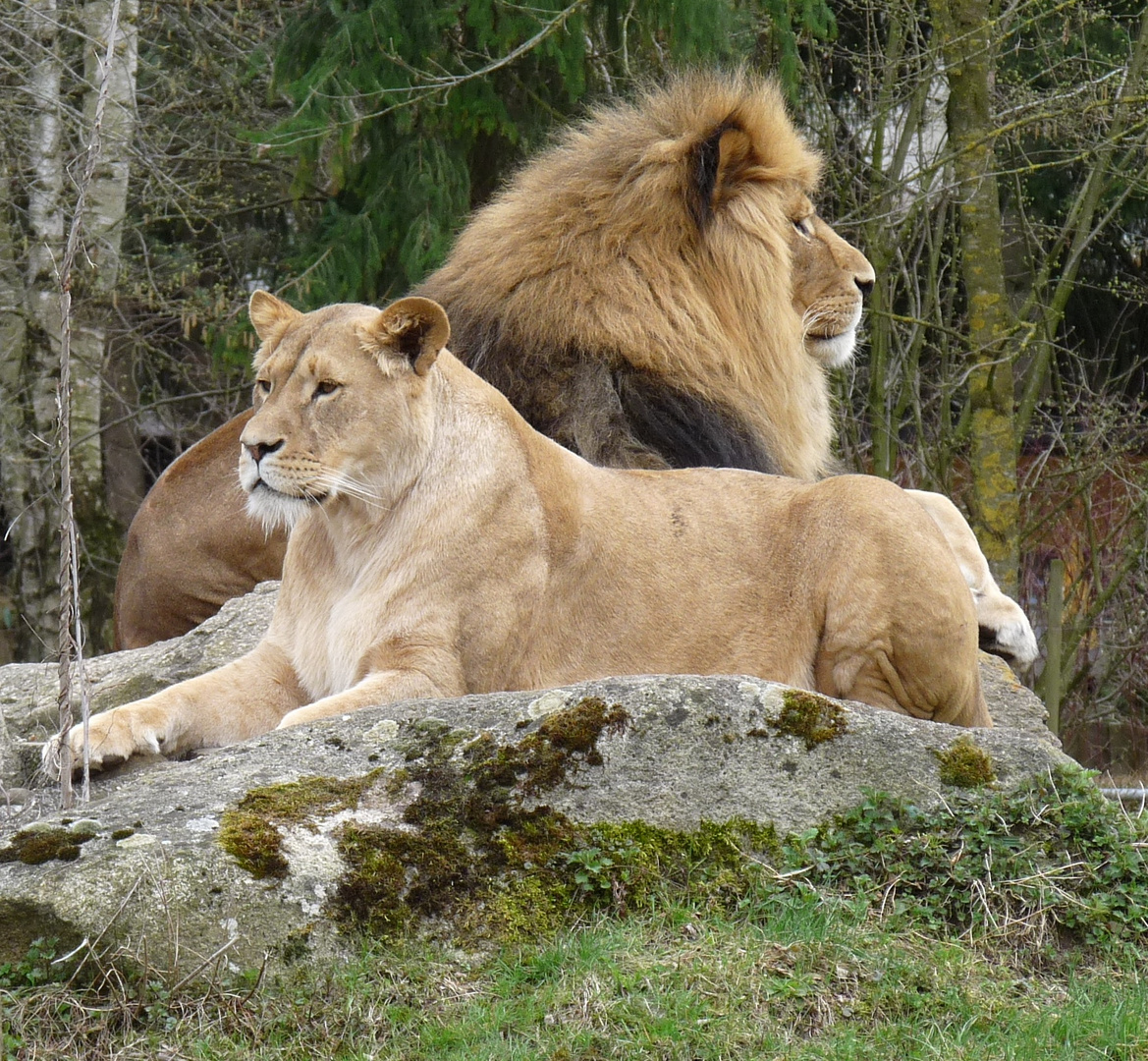 Kings of lion