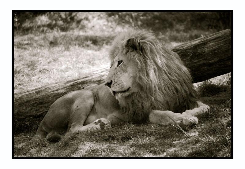 """""""King's Pride"""""""