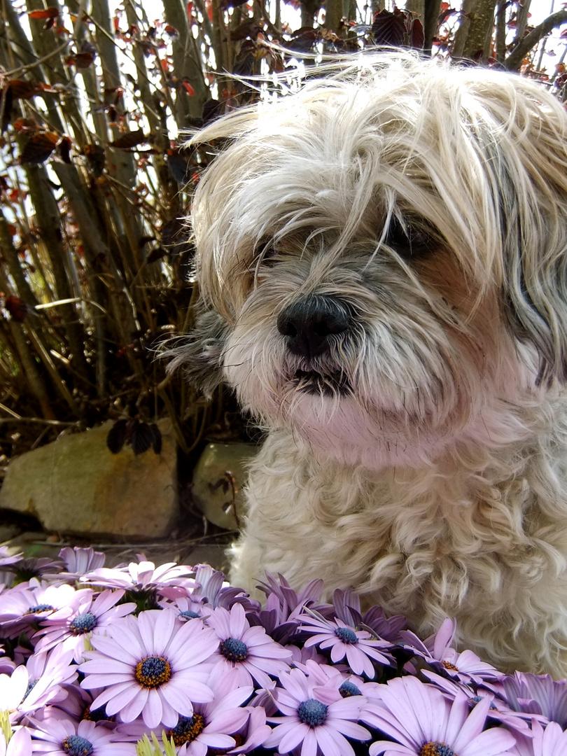 Kira ( Tibet Terrier-Shih Tzu Mischling)