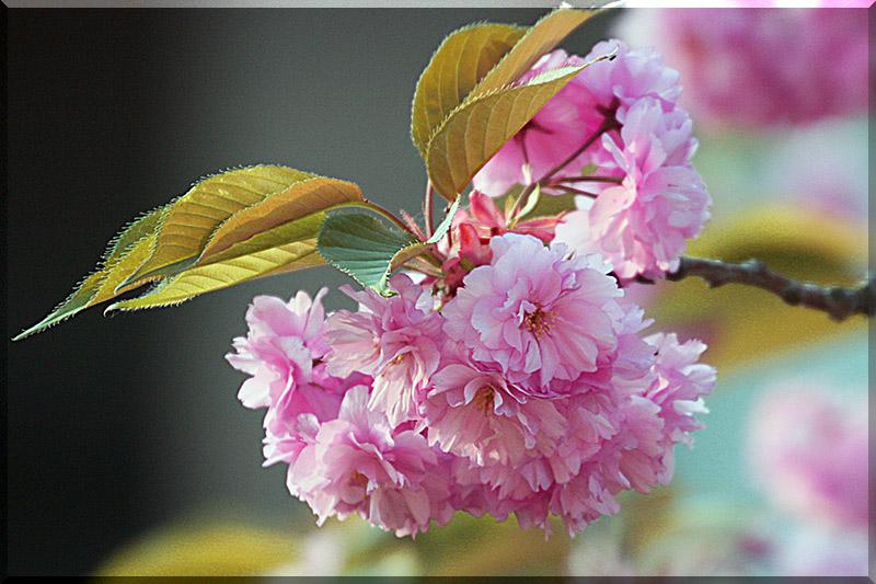 Kirchblüte