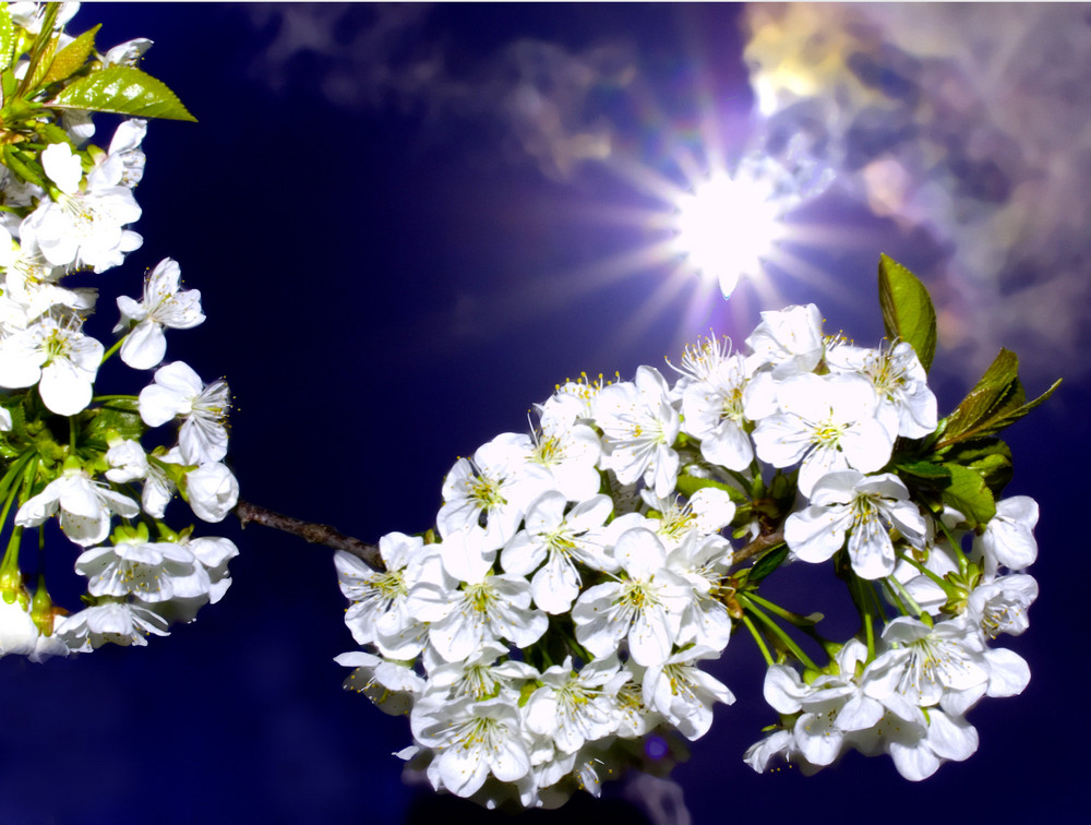 Kirchblüten