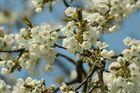 Kirchblüten im Frühjahr