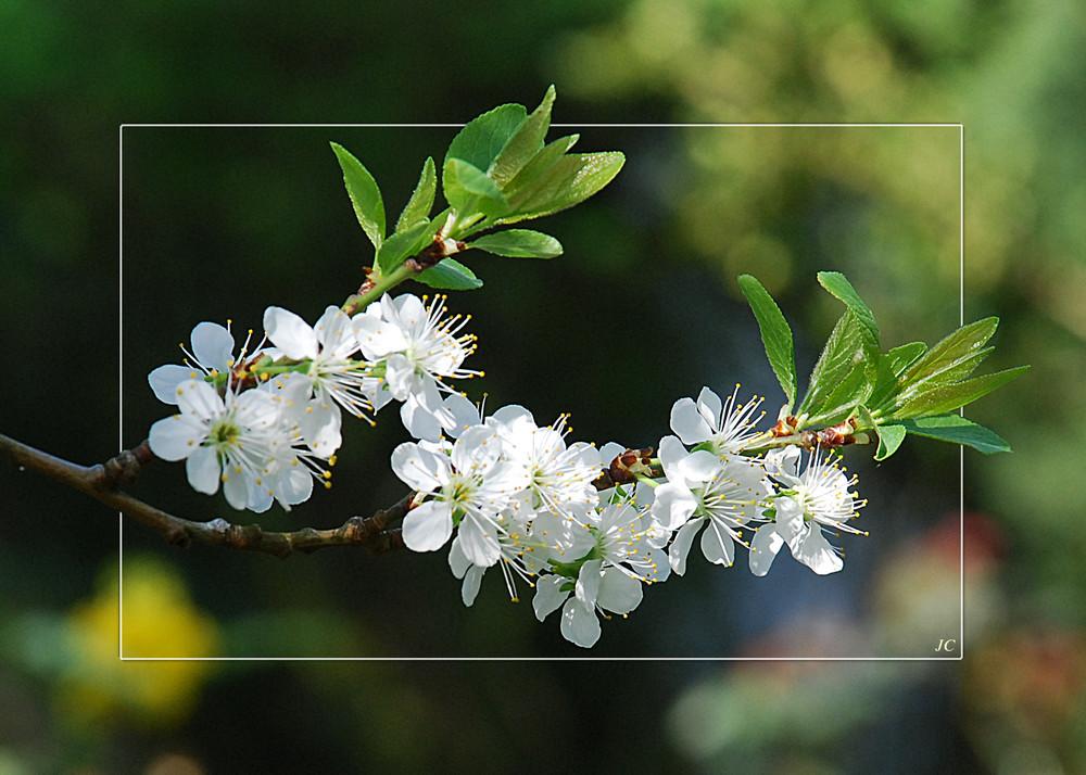 Kirchblütenzweig