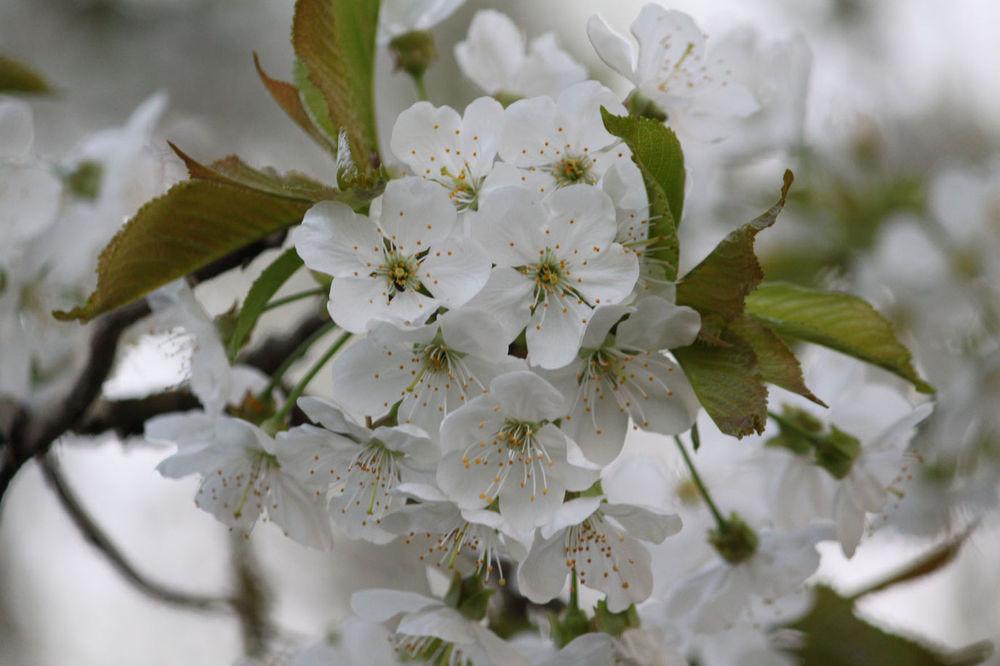 Kirsch-Blüten-Pracht