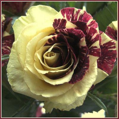 Kirsch-Vanille-Rose!