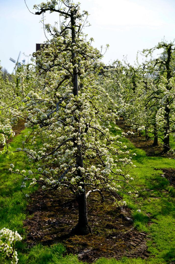 Kirschbäume im Alten Land