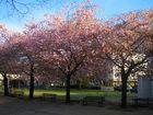 Kirschbäume im Frühling