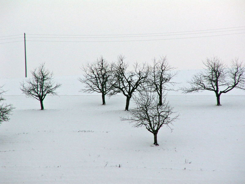 kirschbäume im schnee