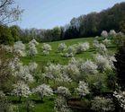 Kirschbäume in Blust