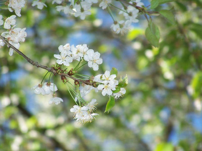 Kirschbaum im April