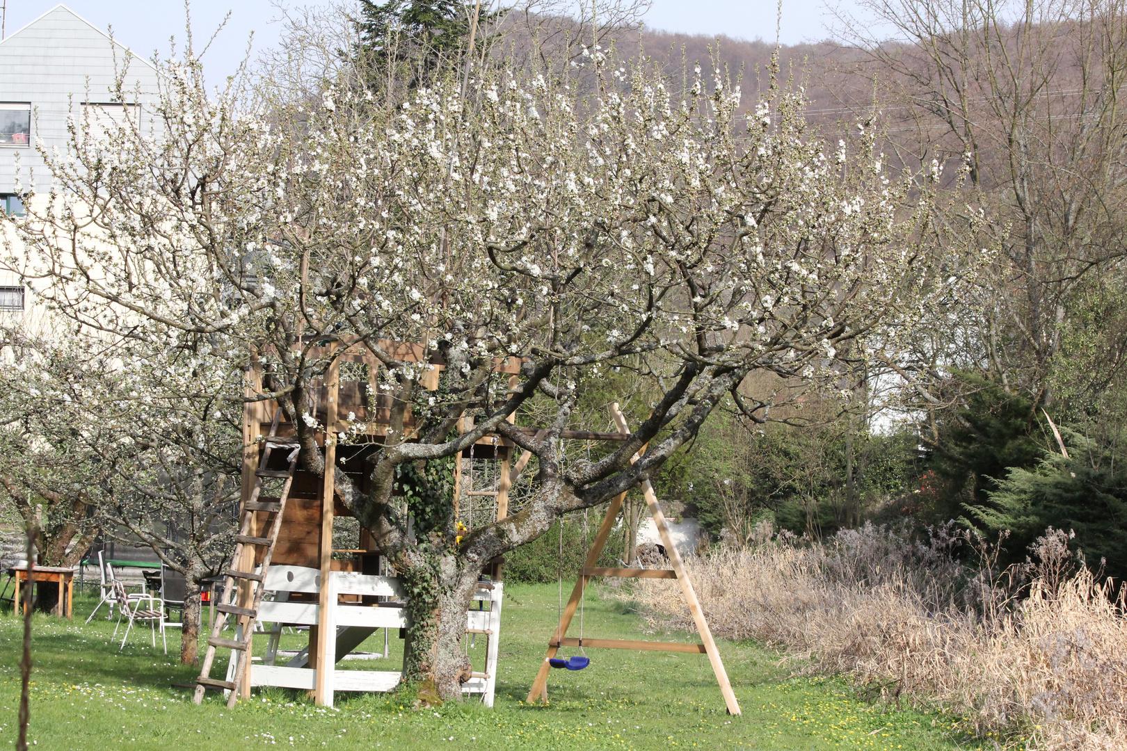 Kirschbaum mit Baumhaus