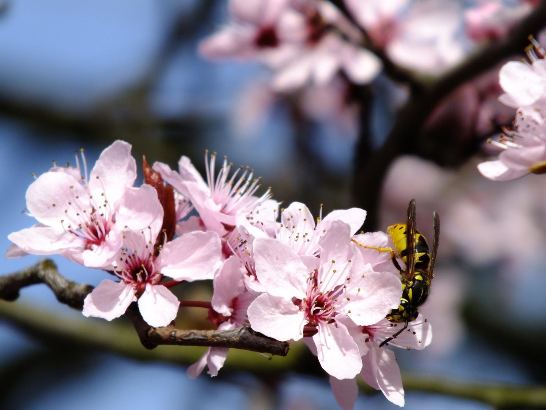Kirschbaum und Wespe