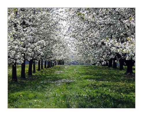 Kirschbaumallee bei Lilling im Fränkischen