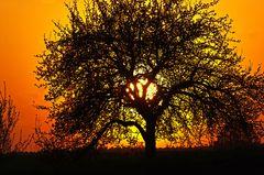 Kirschbaumblüte am Abend