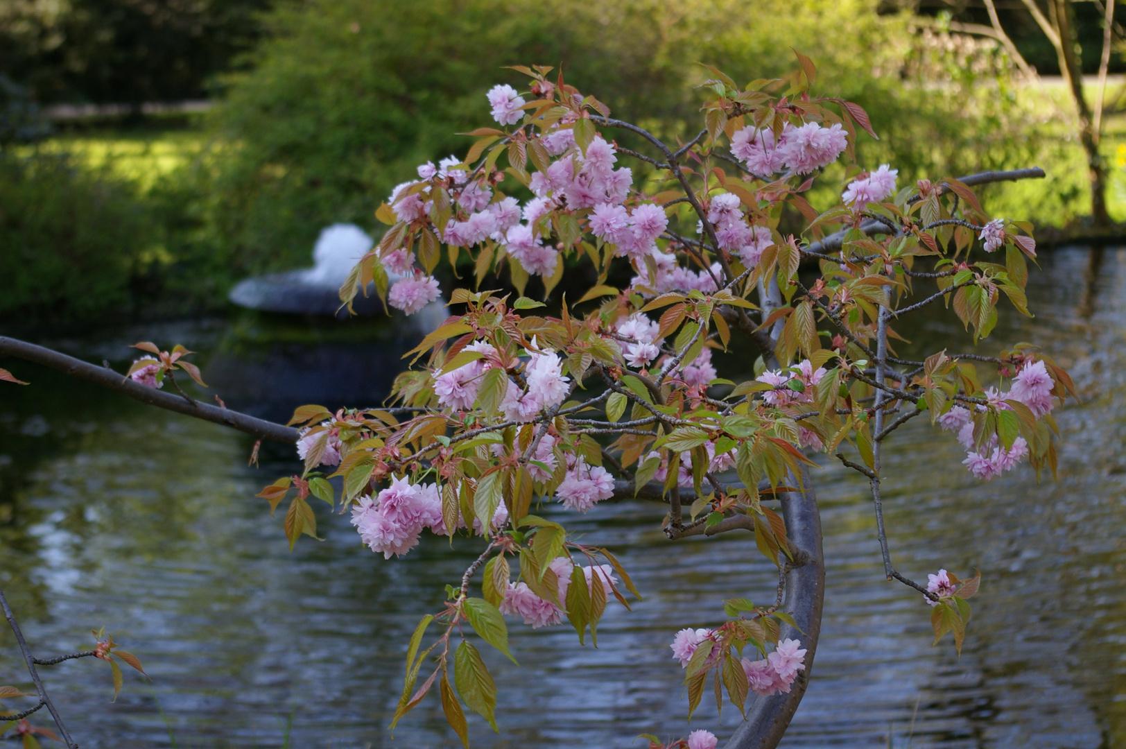 Kirschbaumblüte im Japanischen Garten