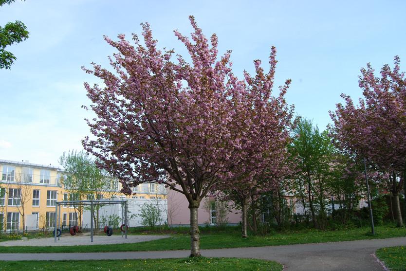 Kirschbaumblüte im Mai
