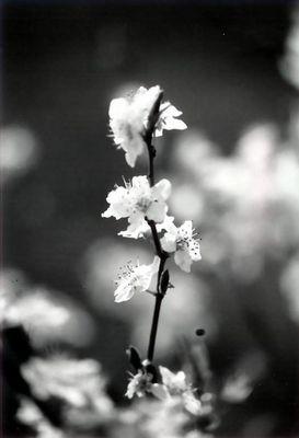 [Kirschbaumblüte schwarz-weiß]