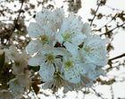 Kirschbaumblüten (10.04.2012)