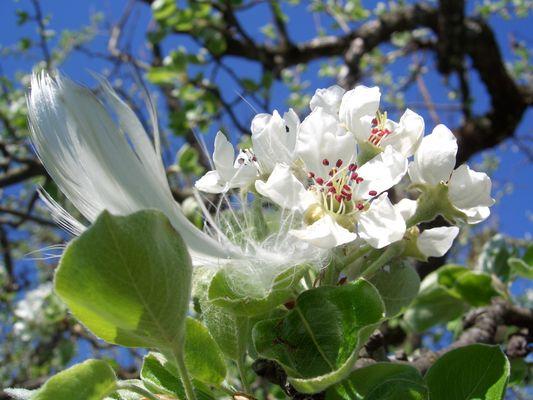 Kirschbaumblüten am Bodensee