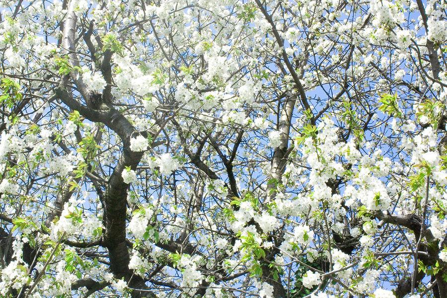 Kirschbaumblüten im April