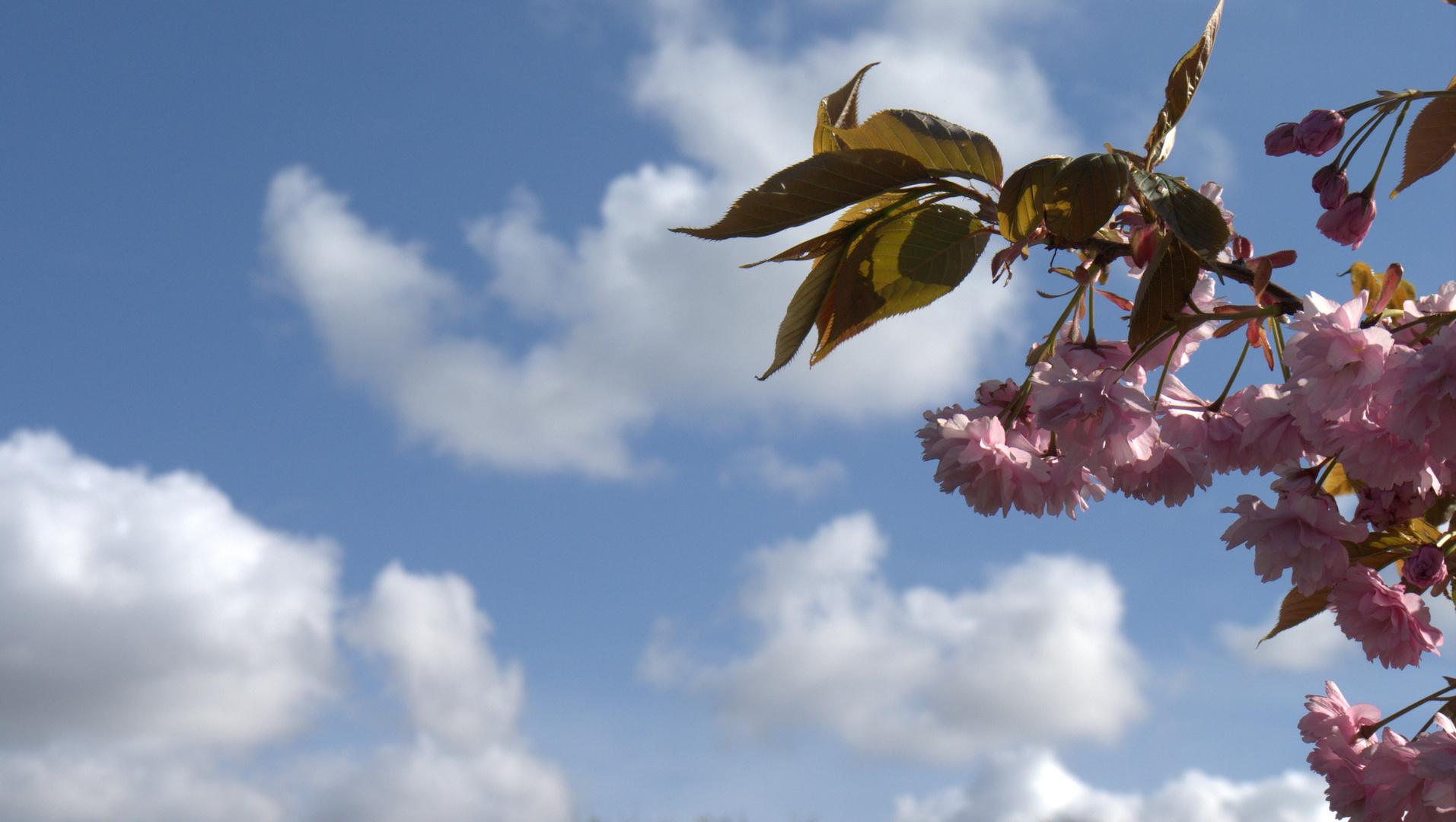 Kirschbaumblüten vor einem blauen Himmel