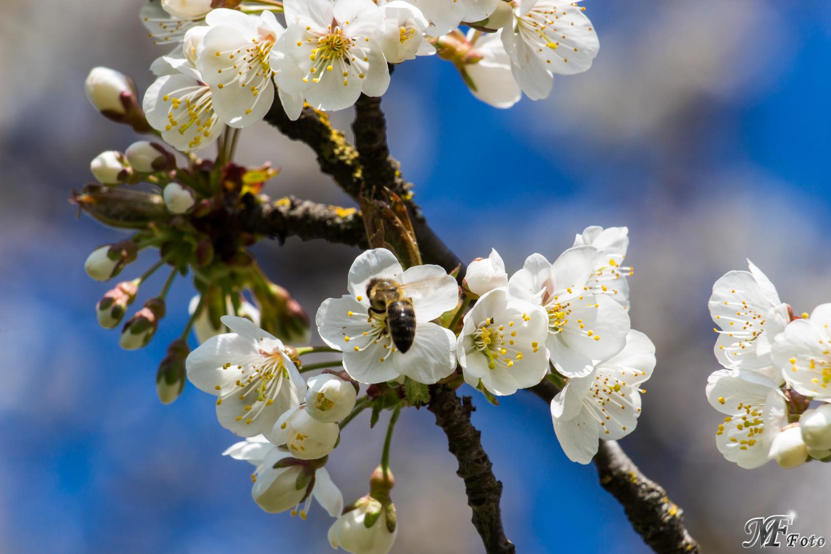 Kirschbaumblütenbiene