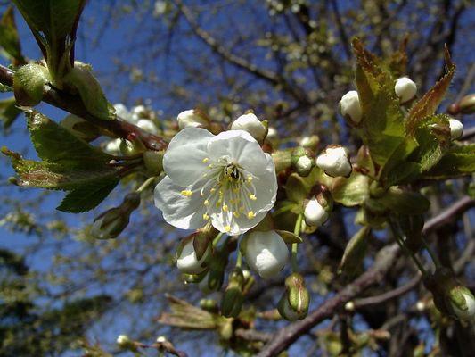 Kirschblühten