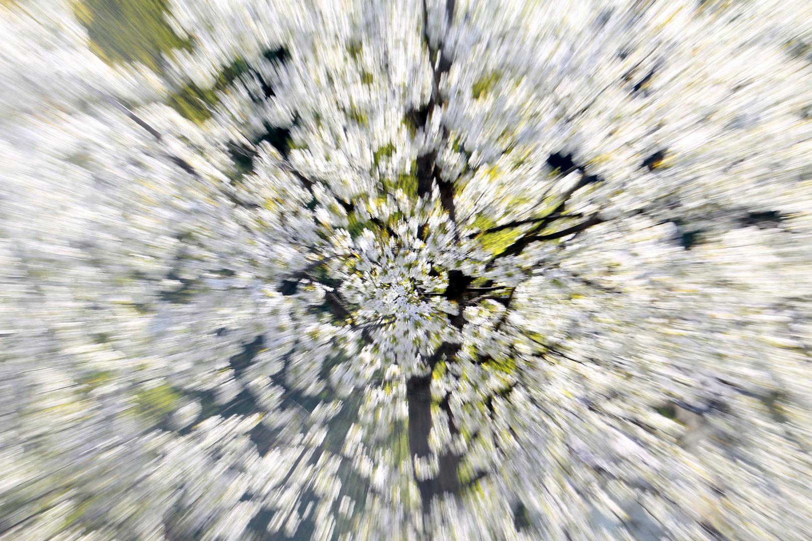 Kirschblüt