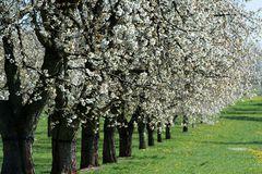 Kirschblüte (1)