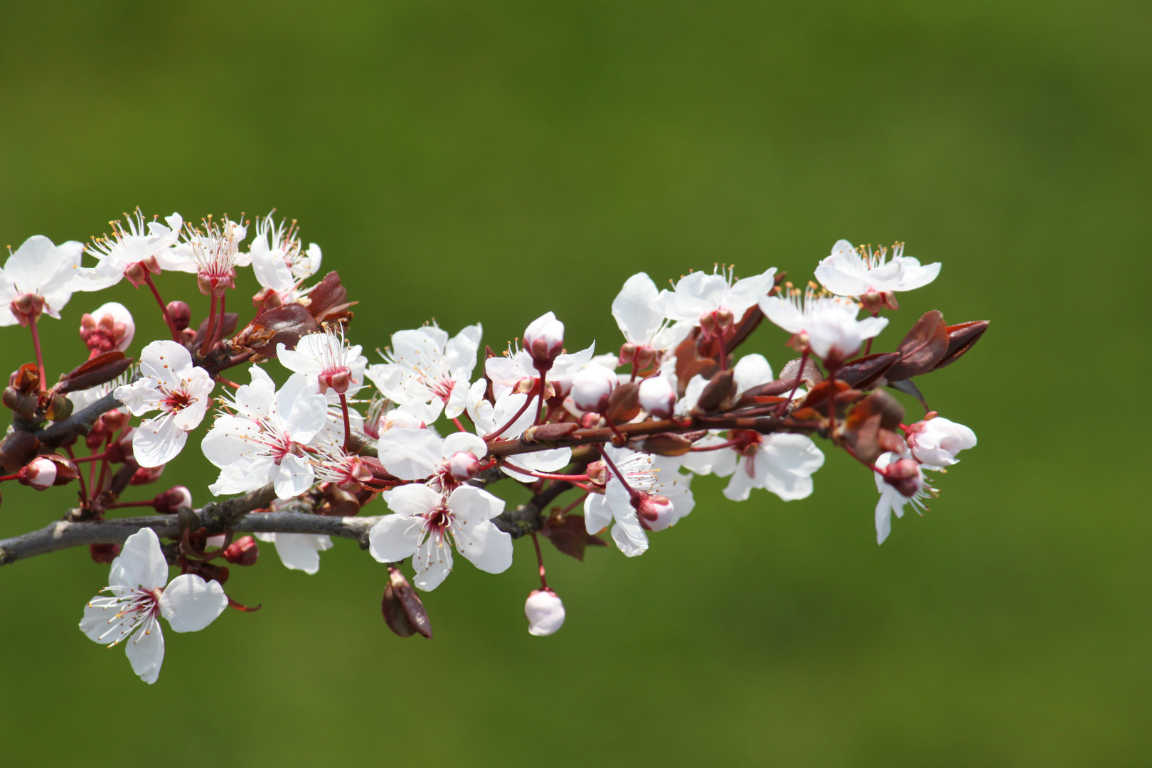 Kirschblüte????