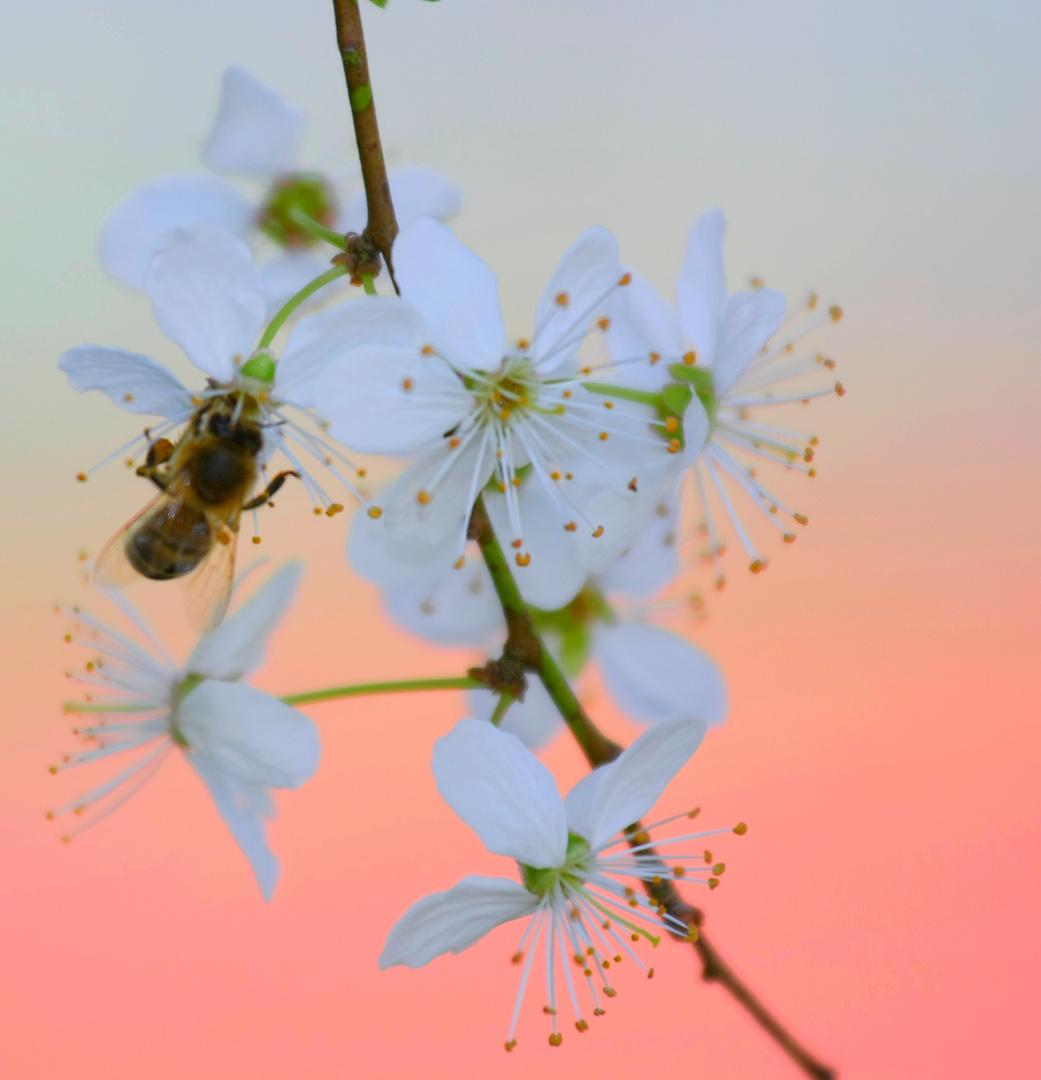Kirschblüte²
