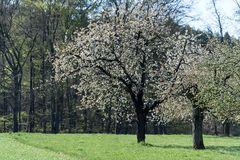 Kirschblüte (2)