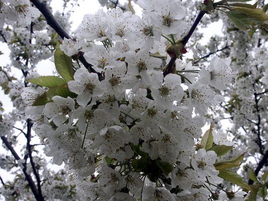 Kirschblüte 2004 in Oberfranken