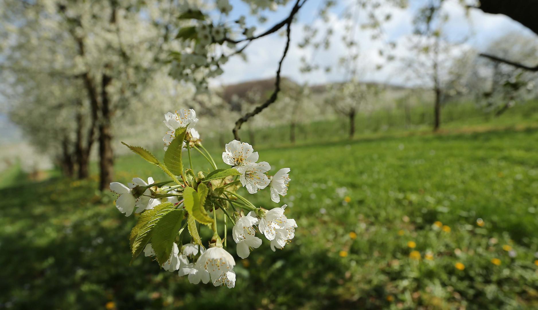Kirschblüte 2014