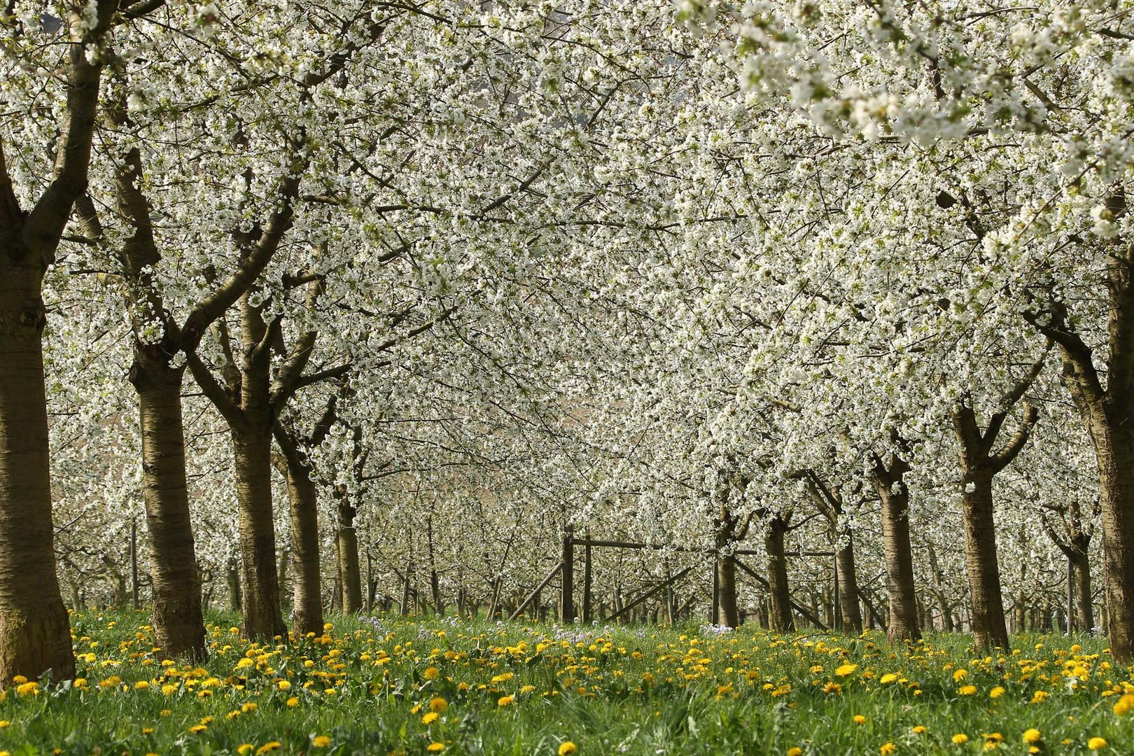 Kirschblüte 2014 im Eggenertal