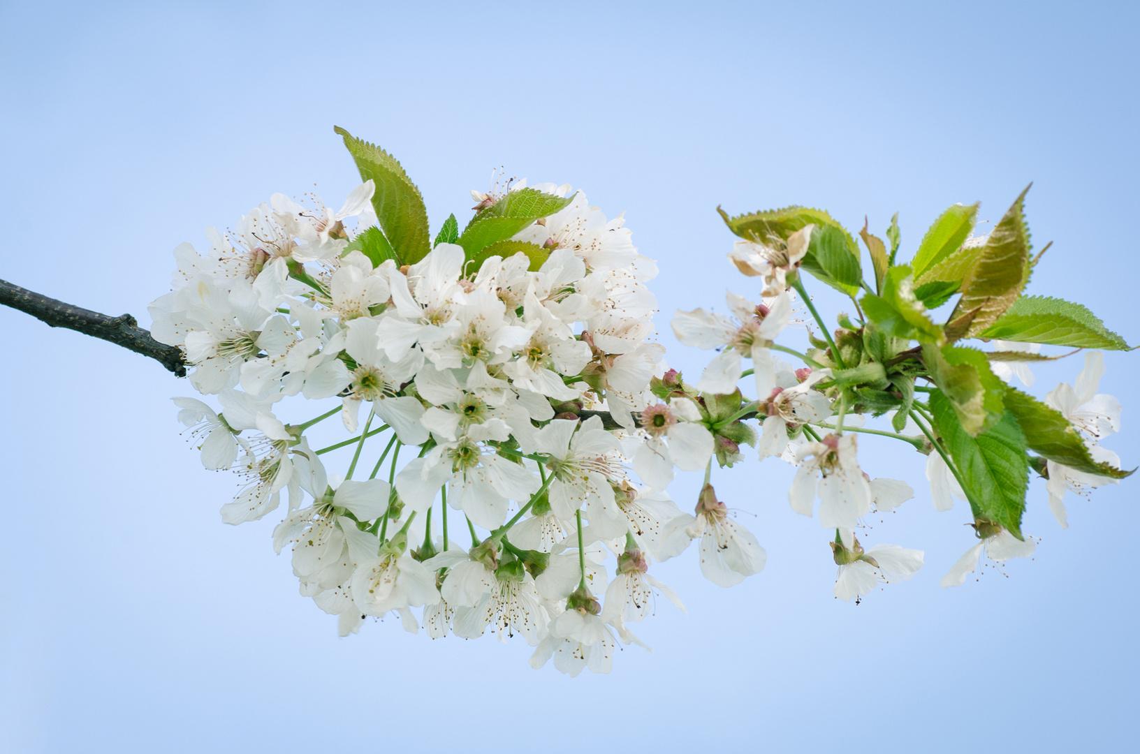 Kirschblüte ...