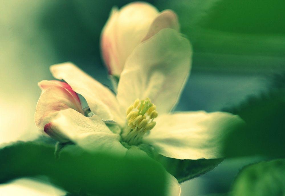 Kirschblüte #3
