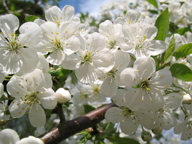 Bild Kirschblüte