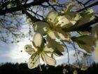 .kirschblüte